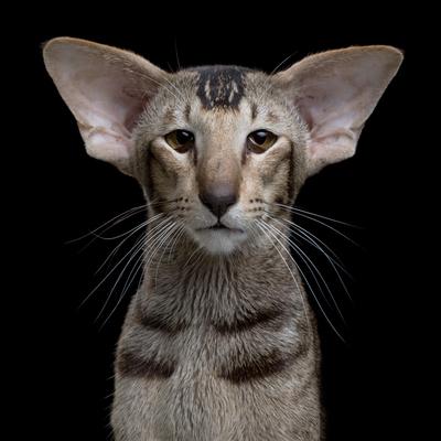 Görüntüsü Komik Ama Dünyanın En Zeki Kedi Cinsi