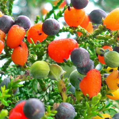 Aynı Anda 40 Farklı Meyve Veren Aşure Ağacı