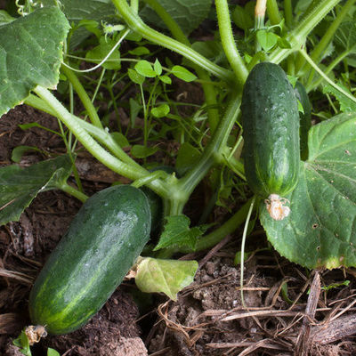 Hıyar (salatalık) nasıl yetiştirilir?